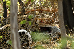 Leopardo en una matanza Foto de archivo libre de regalías