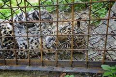 Leopardo enjaulado Imagen de archivo libre de regalías