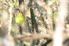Leopardo escondido atrás das árvores Imagem de Stock Royalty Free