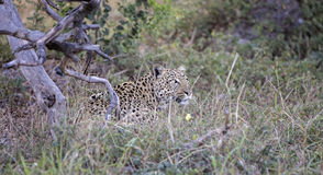 Leopardo fêmea foto de stock