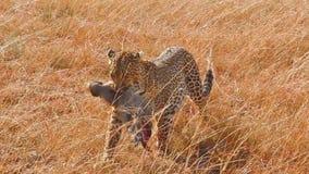 Leopardo femenino en Masai Mara metrajes