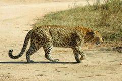 Leopardo femenino que cruza el camino en el parque nacional de Kruger Imagen de archivo