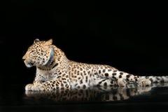 Leopardo hermoso grande Foto de archivo libre de regalías
