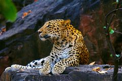 Leopardo indiano, fusca do pardus do Panthera, Ranthambhore Tiger Reserve, Rajasthan fotografia de stock royalty free
