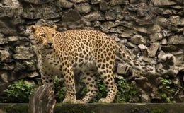 Leopardo indiano masculino no jardim zoológico de Kolkata fotografia de stock