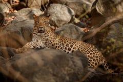 Leopardo indiano nell'habitat della natura Riposo del leopardo Immagini Stock