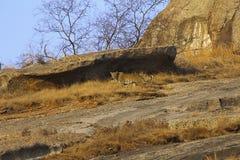 Leopardo indio en Bera de Rajasthán, la India foto de archivo