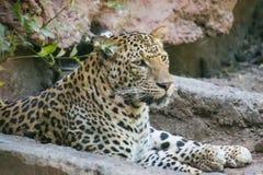 Leopardo indio que se sienta cerca de la guarida foto de archivo