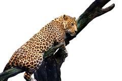 Leopardo isolato su fondo bianco immagini stock