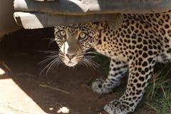 Leopardo joven que oculta debajo de un coche del safari en el nationa de Serengeti Fotografía de archivo