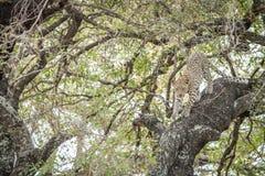 Leopardo joven que sube abajo un árbol Imágenes de archivo libres de regalías