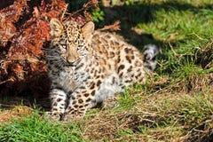 Leopardo lindo Cub de Amur del bebé que mastica la hierba Foto de archivo libre de regalías