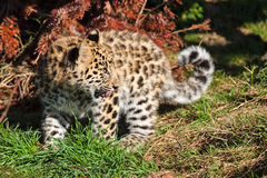 Leopardo lindo Cub de Amur del bebé que mira sobre Shoulde Imagenes de archivo