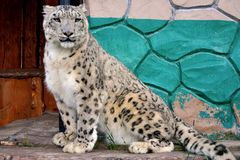Leopardo lindo del empollamiento imagen de archivo