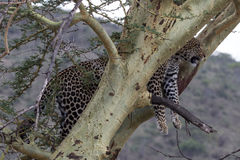 Leopardo manchado poderoso acima da elevação em uma árvore da acácia Foto de Stock