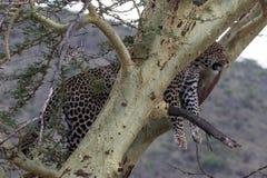 Leopardo manchado potente encima del alto en un árbol del acacia Foto de archivo