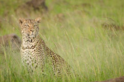 Leopardo in Mara National Park masai, Kenya Fotografie Stock