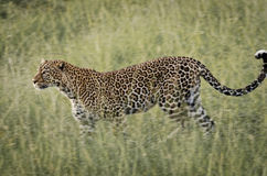 Leopardo in Mara National Park masai, Kenya fotografie stock libere da diritti