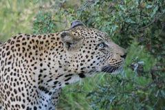 Leopardo maschio Fotografie Stock