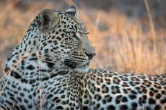Leopardo maschio che riposa al di sotto di grande albero di Amarula fotografia stock