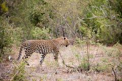 Leopardo maschio sul vagare in cerca di preda Fotografie Stock