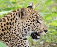 Leopardo masculino Fotos de Stock