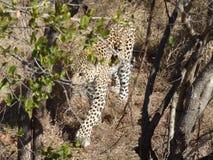 Leopardo masculino Fotos de archivo libres de regalías