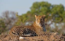 Leopardo masculino con una opinión de nivel del ojo en buena luz fotos de archivo libres de regalías