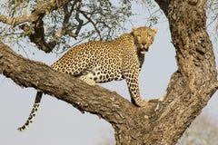Leopardo masculino en el árbol, Suráfrica Fotos de archivo libres de regalías