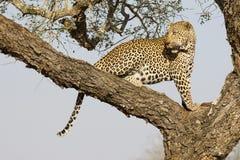 Leopardo masculino en el árbol, Suráfrica Fotos de archivo