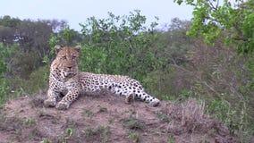 Leopardo masculino en un montón que mira alrededor para cazar oportunidades almacen de video