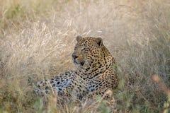 Leopardo masculino grande que coloca en la hierba Imágenes de archivo libres de regalías