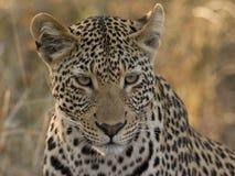 Leopardo masculino joven Imagenes de archivo