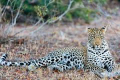 Leopardo masculino joven imagen de archivo libre de regalías