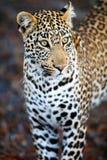Leopardo masculino joven imagen de archivo