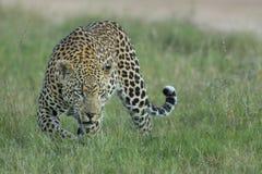 Leopardo masculino (pardus) del Panthera Suráfrica imagen de archivo libre de regalías