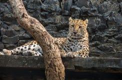 Leopardo masculino que descansa en su confinamiento en un parque zoológico indio Foto de archivo libre de regalías