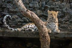 Leopardo masculino que descansa en su confinamiento en un parque zoológico indio Imagen de archivo