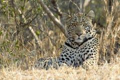 Leopardo masculino que se reclina, Suráfrica Imagen de archivo libre de regalías