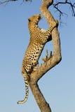 Leopardo masculino que sube un árbol, Suráfrica Imagen de archivo libre de regalías