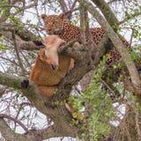 Leopardo na árvore com impala foto de stock