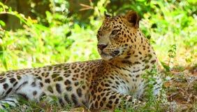 Leopardo na árvore na luz Snmek da tarde foto de stock