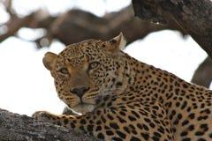 Leopardo na árvore que olha fixamente na câmera Fotografia de Stock