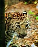 Leopardo na floresta Foto de Stock