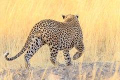 Leopardo na grama Imagens de Stock Royalty Free