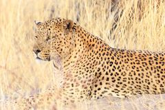 Leopardo na grama Fotografia de Stock Royalty Free