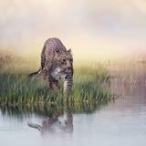 Leopardo na grama perto da água imagens de stock royalty free