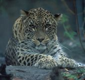 Leopardo na noite foto de stock royalty free