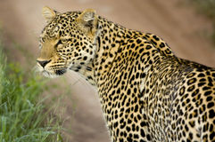 Leopardo na reserva nacional do serengeti Foto de Stock