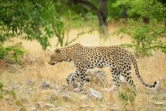 Leopardo, Namibia Foto de archivo